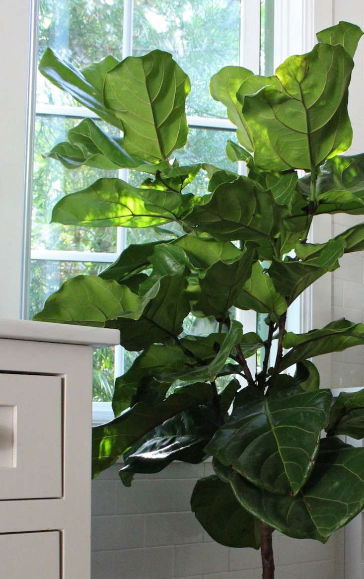fiddle leaf fig trees near kitchen window and counter