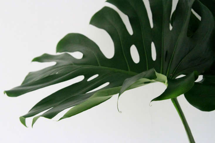 Monstera Deliciosa Big Plant Small Apartment Gardenista