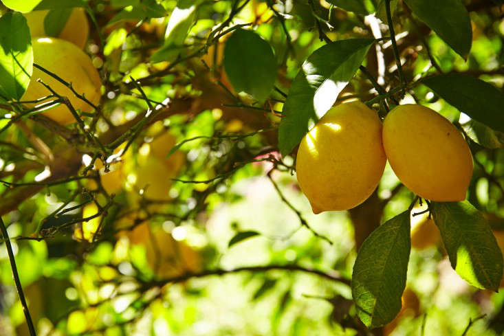 The Truth About an Indoor Lemon Tree (Hint: It Belongs Outdoors ...