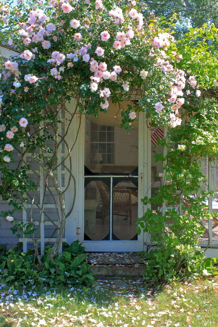 Climbing Roses New Dawn On Cape Cod