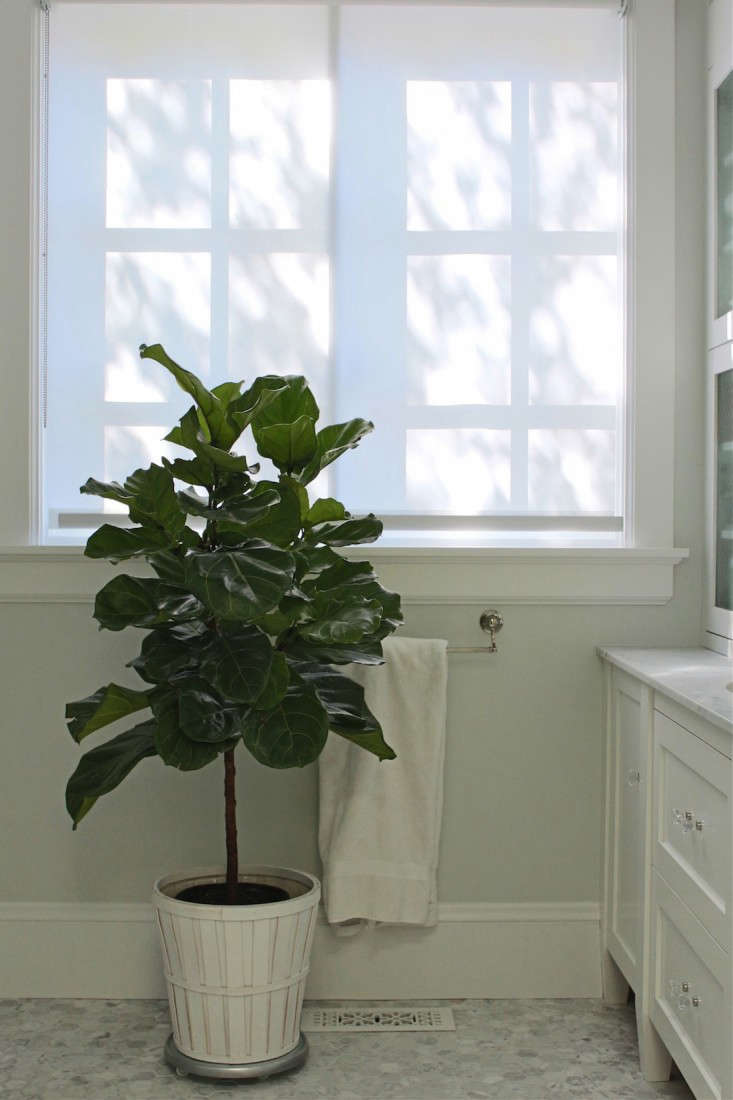 The Fig And I My First Fiddle Leaf Fig Tree