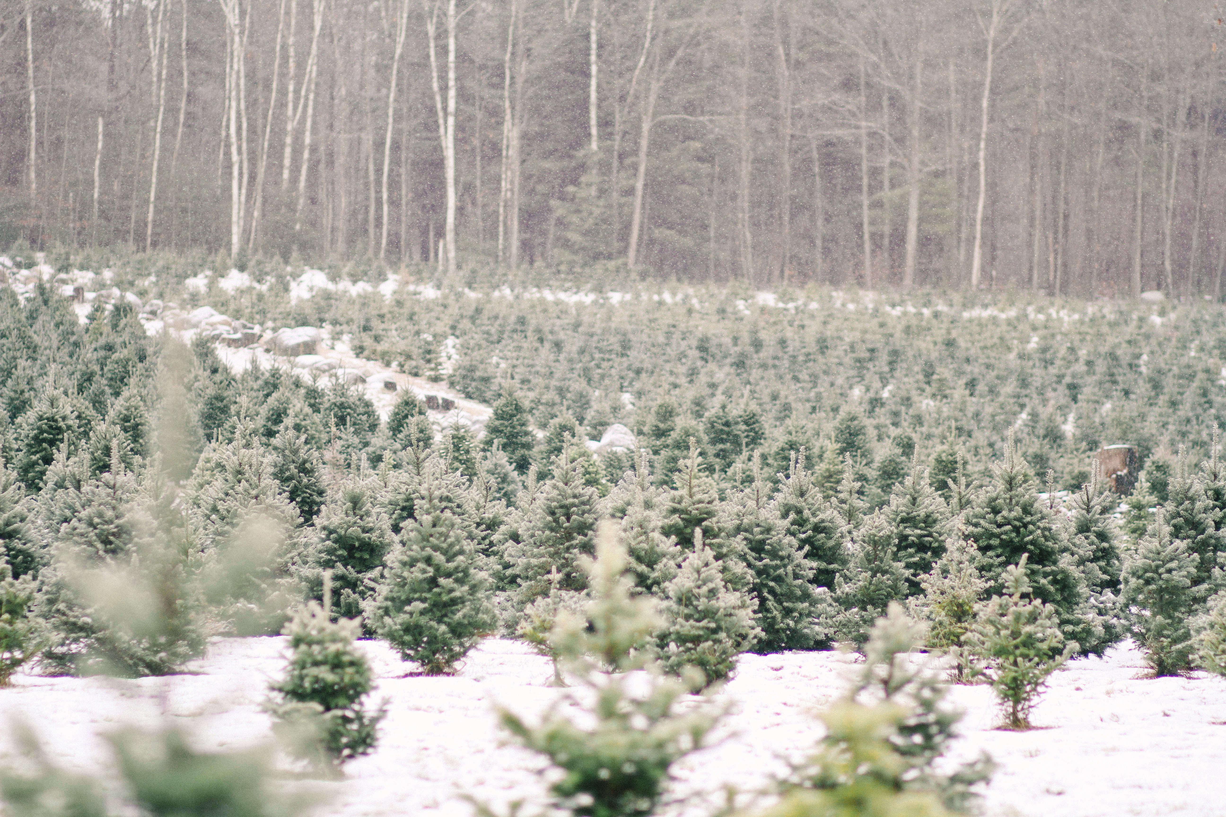 shoppers diary a christmas tree farm in maine gardenista