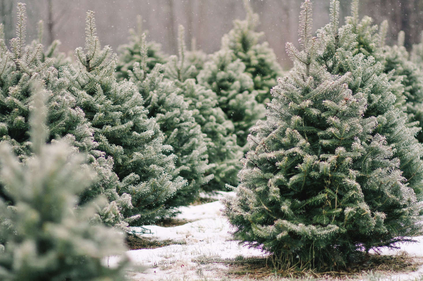 Shopper's Diary: A Christmas Tree Farm in Maine - Gardenista