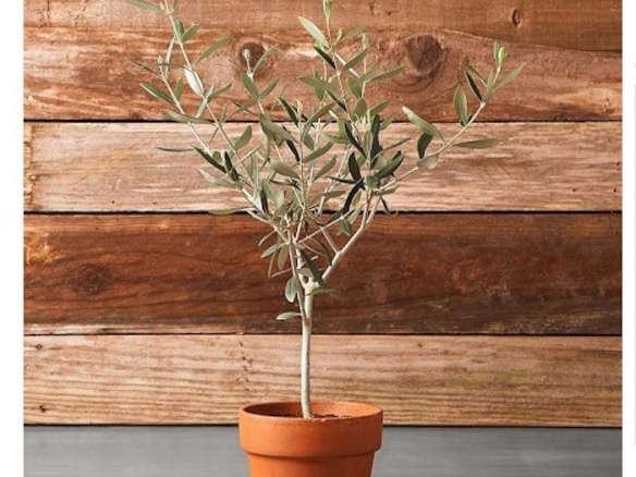 Olive Tree In Terra Cotta Pot