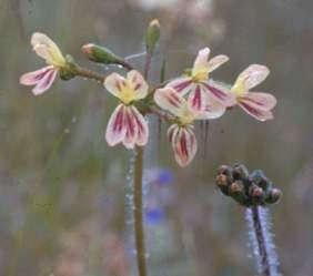 Pelargonium Attar Of Rose Scented Geranium