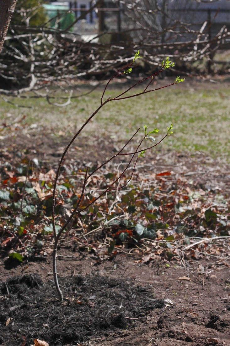 Trend Alert Black Pussy Willow - Gardenista-3500