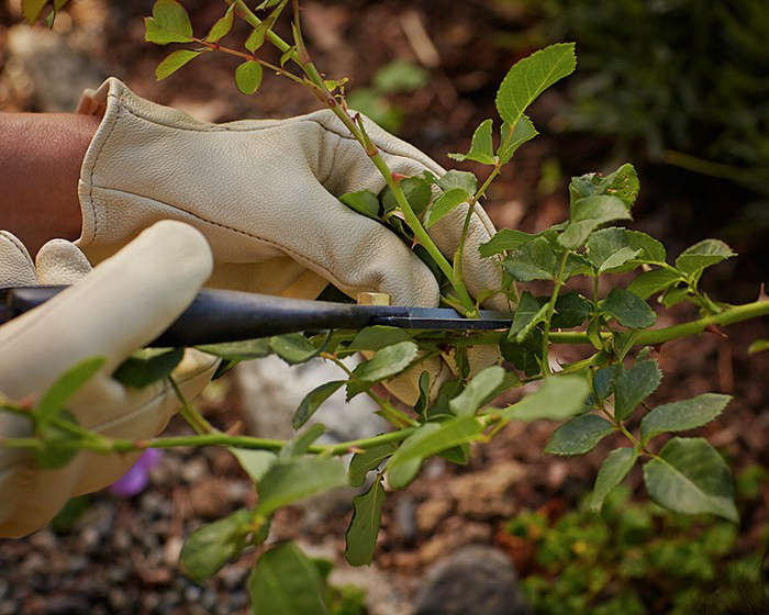 For deadheading tips, see Gardening 101: How to Deadhead Flowers. Photograph by John Merkl for Gardenista, from Gardening 101: How to Prune Roses.