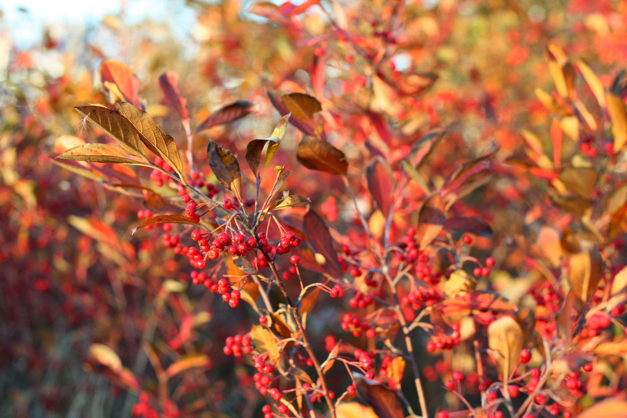 True Colors 9 Best Shrubs For Fall Foliage Gardenista