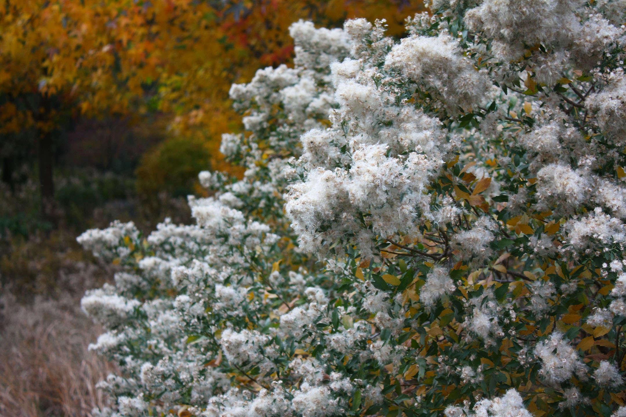 True Colors: 9 Best Shrubs for Fall Foliage - Gardenista