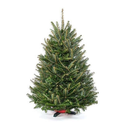 Tabletop Premium Grade Real Christmas Tree