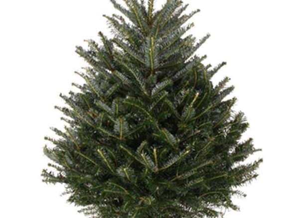 - Fresh-Cut Fraser Fir Christmas Trees