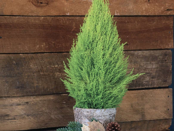 lemon cypress in birch container - Cypress Christmas Tree
