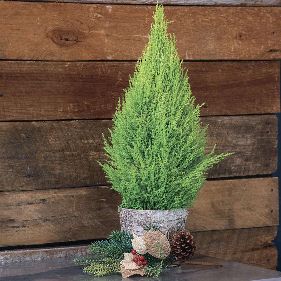Lemon Cypress in Birch Container