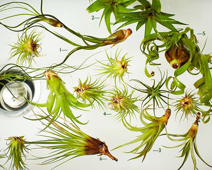 Air Plants 101 How To Id A Tillandsia Gardenista