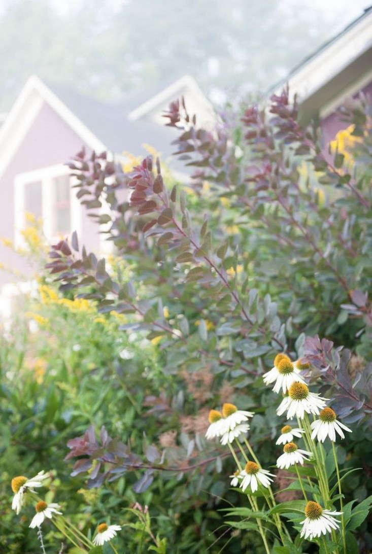 Vermont Garden Smoke Bush Perennials Gardenista