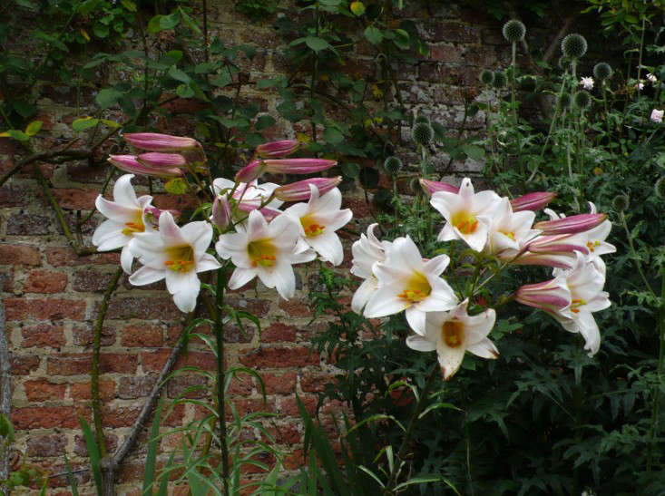 Expert advice 10 white garden ideas from petersham nurseries above lilium regale album on the other side of the wall at sissinghurst holds its own against brick where smaller flowers would struggle to compete mightylinksfo