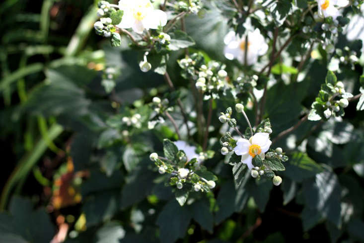 Fall-Blooming Anemones for Autumn Color - Gardenista