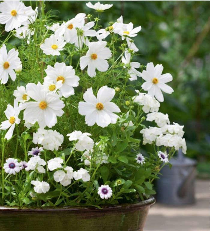 Field guide cosmos gardenista white cosmos sarah raven gardenista mightylinksfo