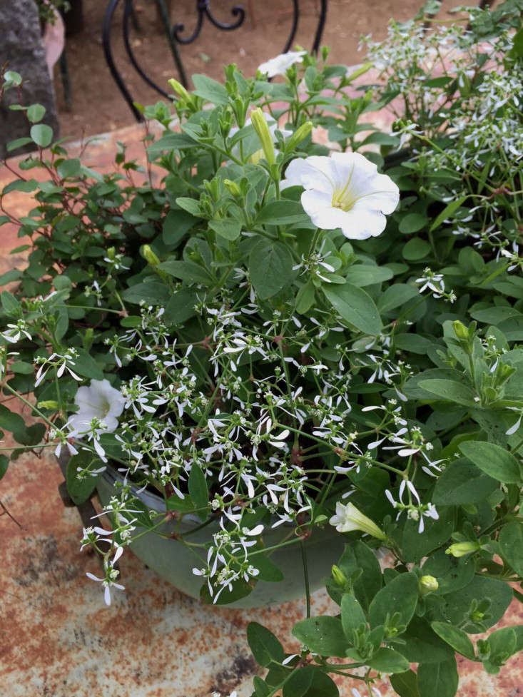Expert advice 10 white garden ideas from petersham nurseries above the main elements of this container are petunia the small euphorbia diamond frost and muehlenbeckia axillaris mightylinksfo