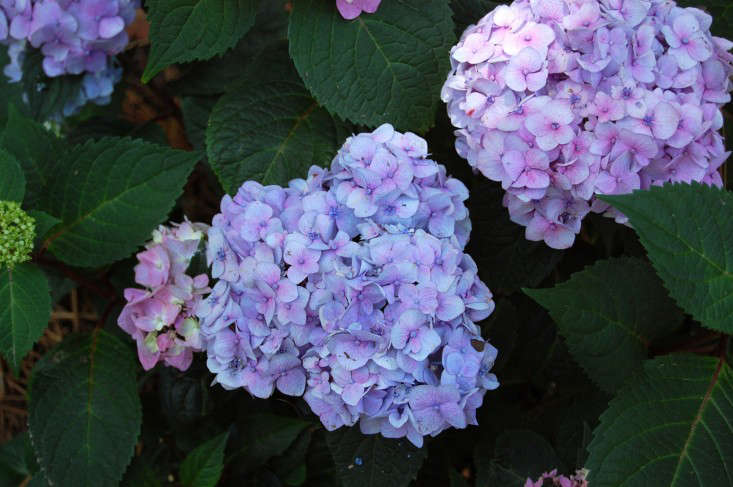 hydrangeas how to change color from pink to blue gardenista