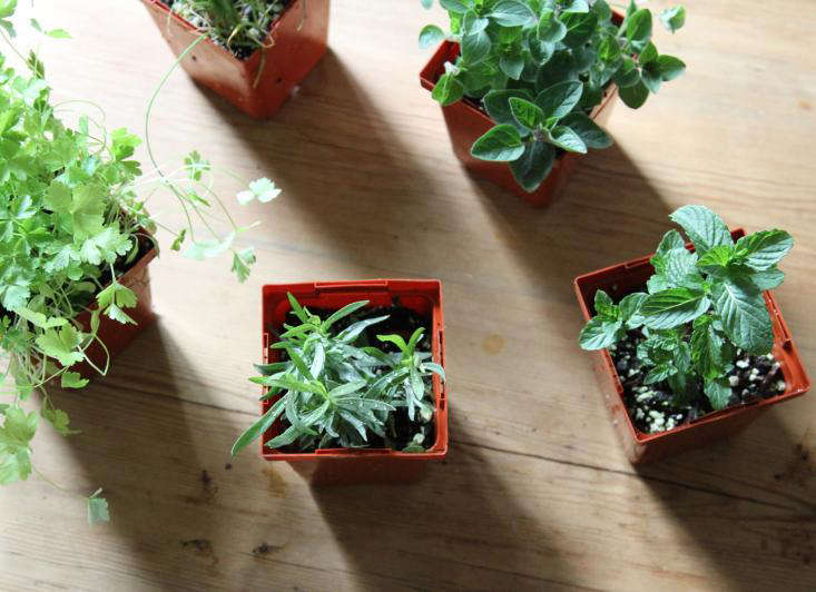 Urban Gardening: Shade-Tolerant Herbs to Grow in Your Apartment ...