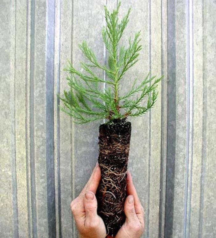 Выращивание секвойядендрон 17