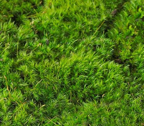 Cushion Moss Leucoloryum