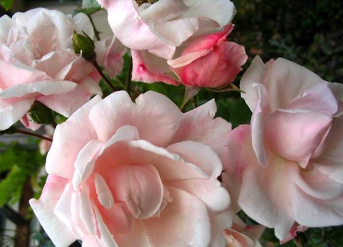 700_new-dawn-rose-cluster-jpeg