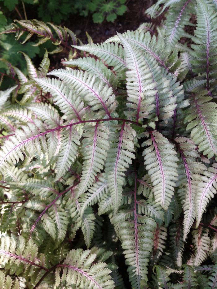 Design sleuth the ultimate shade garden gardenista above the spiky leaves of a japanese painted fern have deep purple veining 24 for three the ferns ship for fall planting from white flower farm mightylinksfo