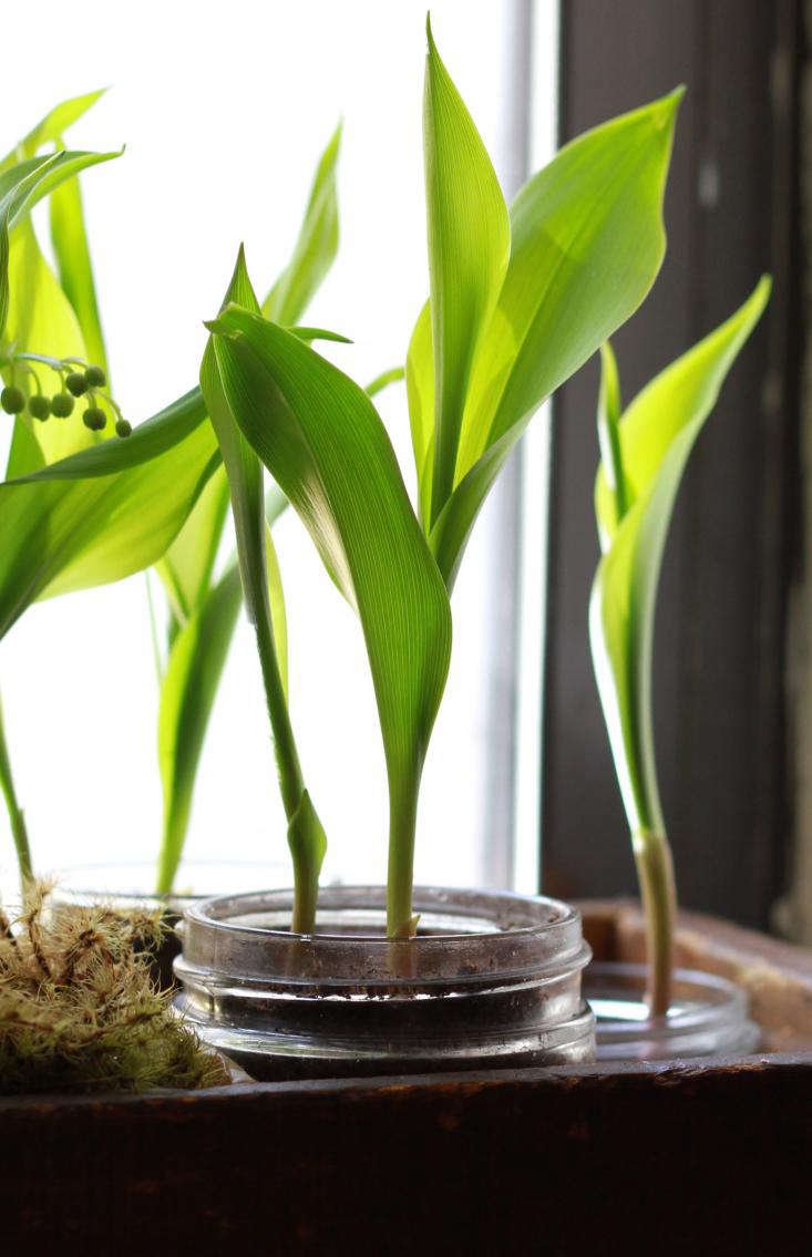 Diy grow lily of the valley on a windowsill gardenista diy lily of the valley sprouting gardenista izmirmasajfo