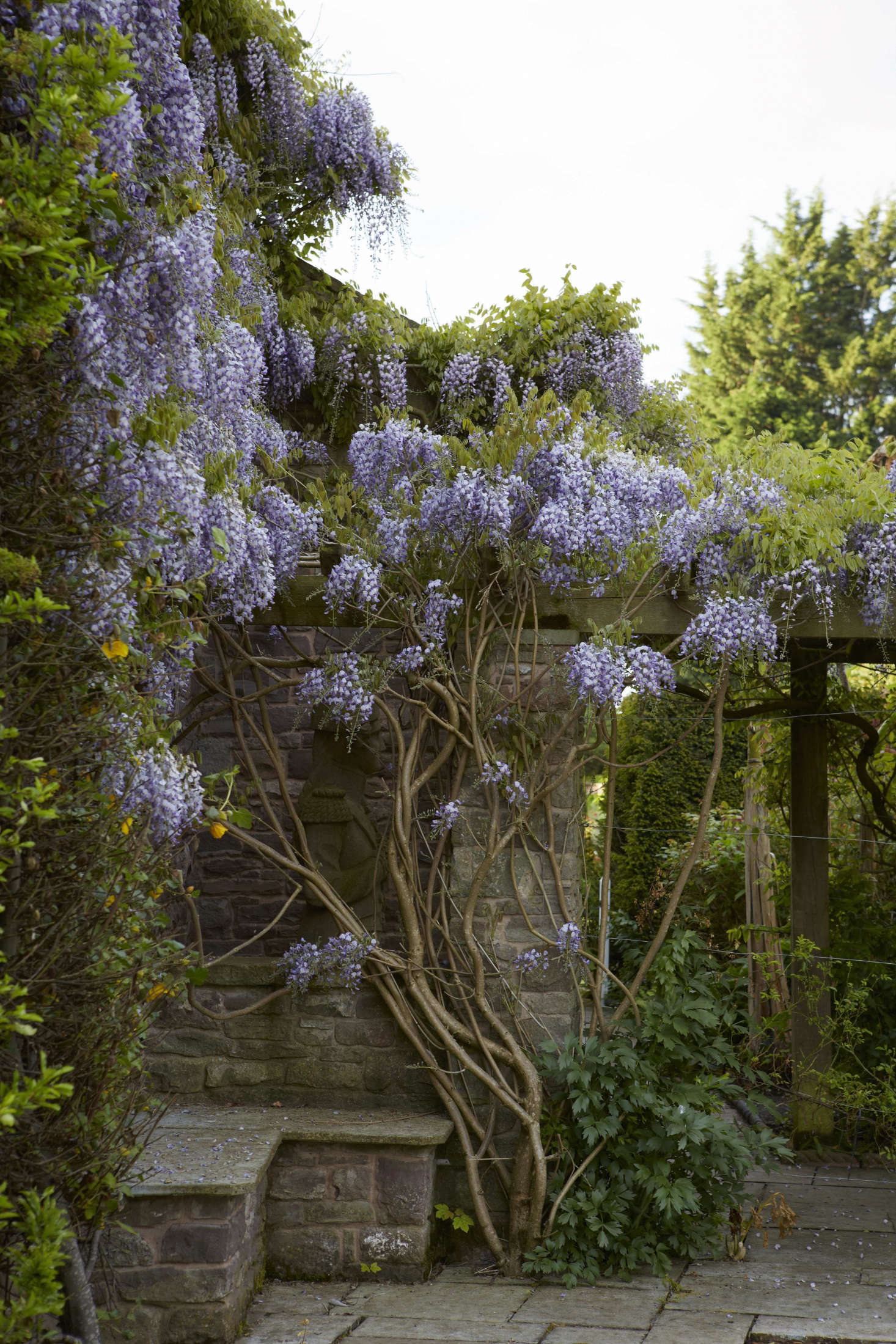 Wisteria How To Make It Flower Gardenista