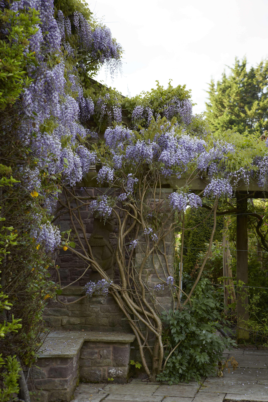 Wisteria: How to Make It Flower - Gardenista