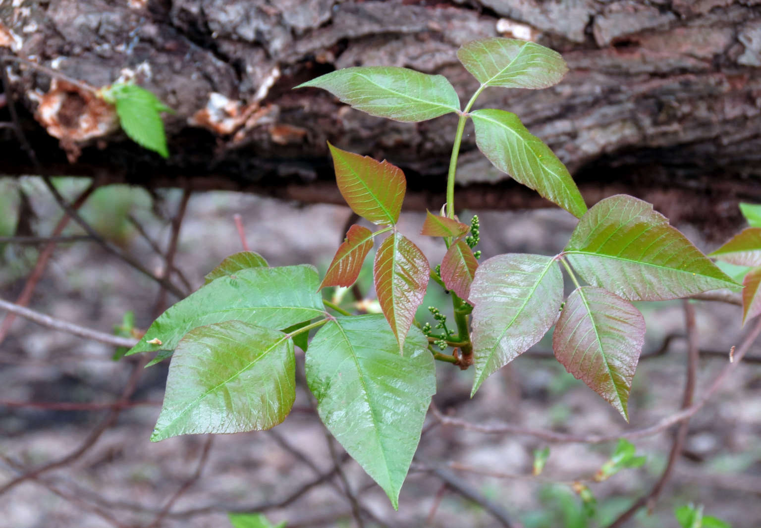 """Poison ivy was making enemies as early as the 17th century. Upon discovering it in the New World, Captain John Smith noted in 1623, """"The poysoned weed is ..."""