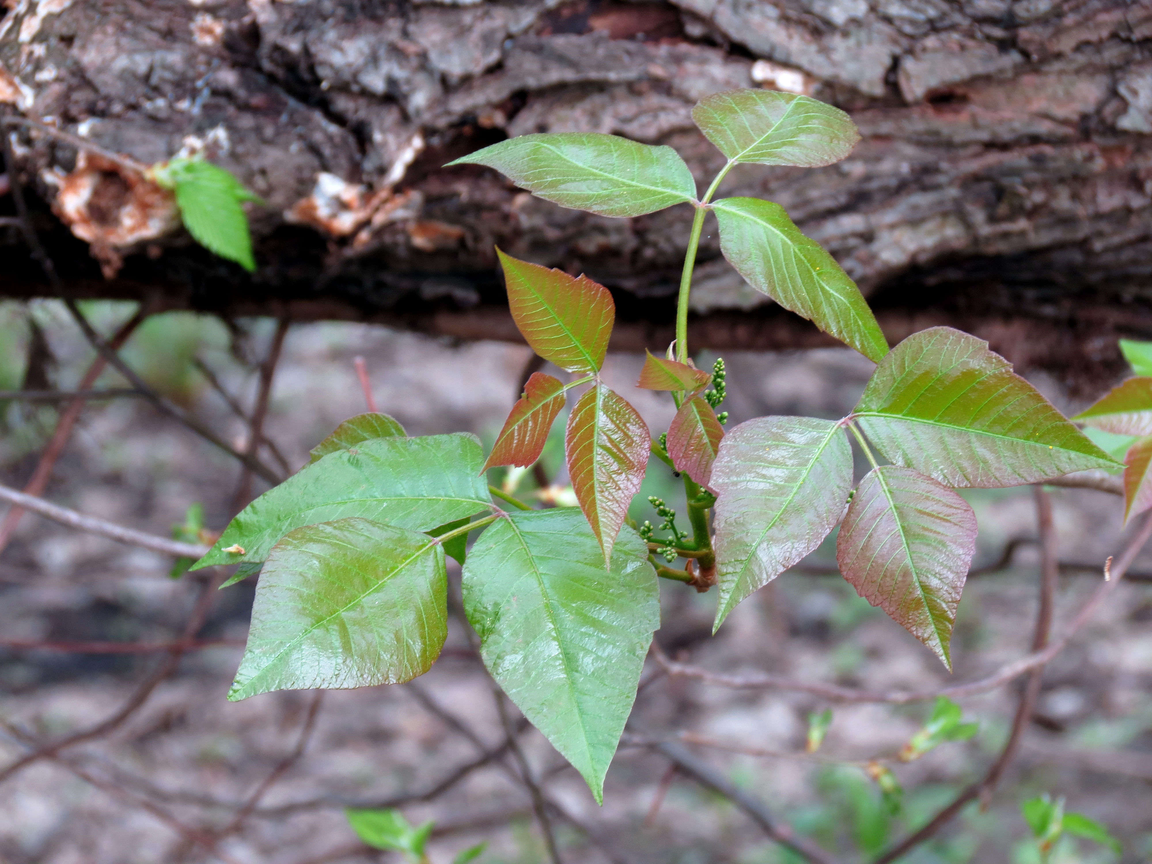 landscaping 101: how to kill poison ivy - gardenista