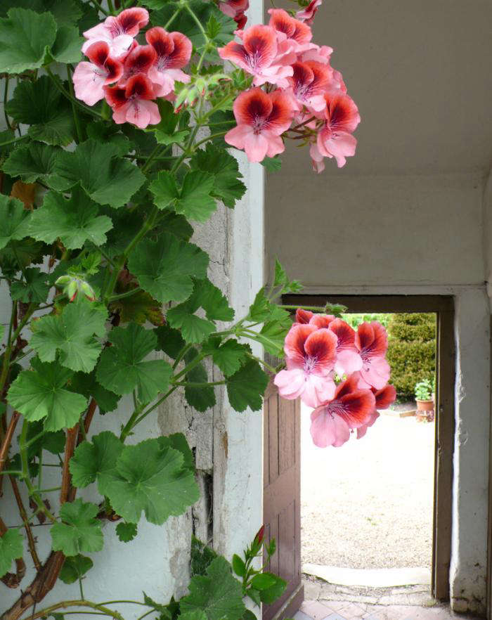 For more, see Please Don't Call Them Geraniums. Photograph by Kendra Wilson.