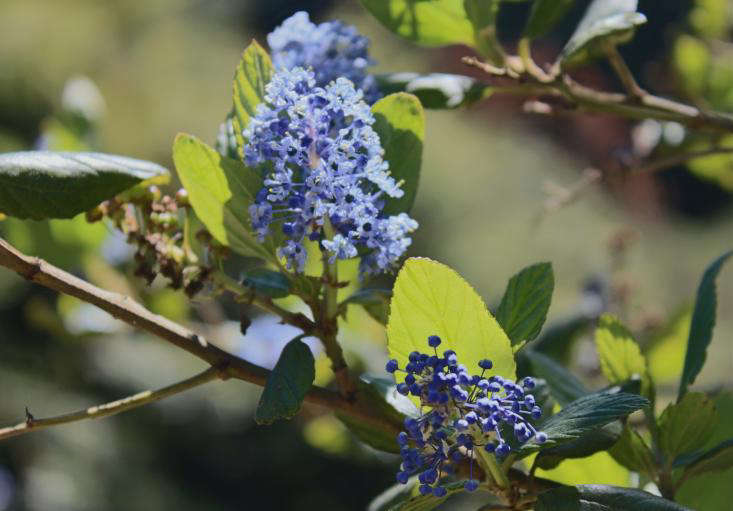 California lilac ceanothus by Michelle Slatalla