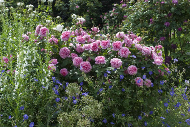 From David Austin, Rosa 'Gertrude Jekyll' (Ausboard) is $.50 in the US and £.50 in the UK; here is it planted alongside Epilobium and Geranium 'Brookside'. Photograph courtesy of David Austin Roses.