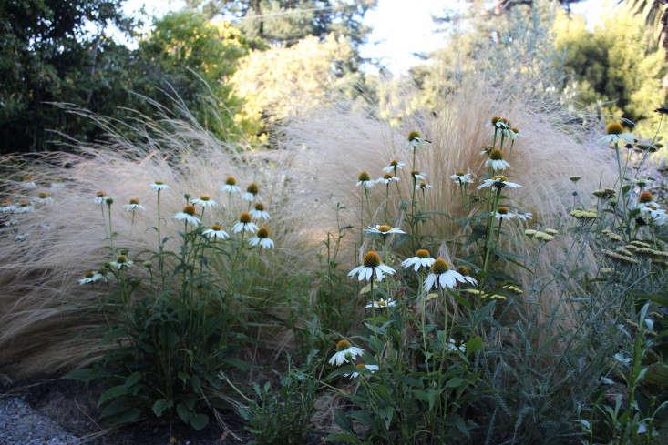 Apairing ofEchinacea Purpurea 'White Swan' ($11.95 apiece from White Flower Farm) andStipa Tenuissima in my own garden.