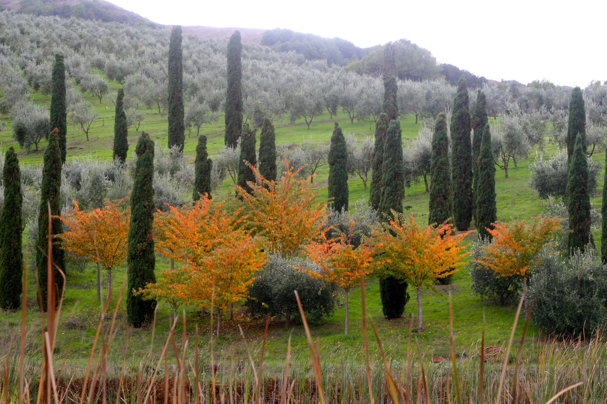browse olive trees gardenista
