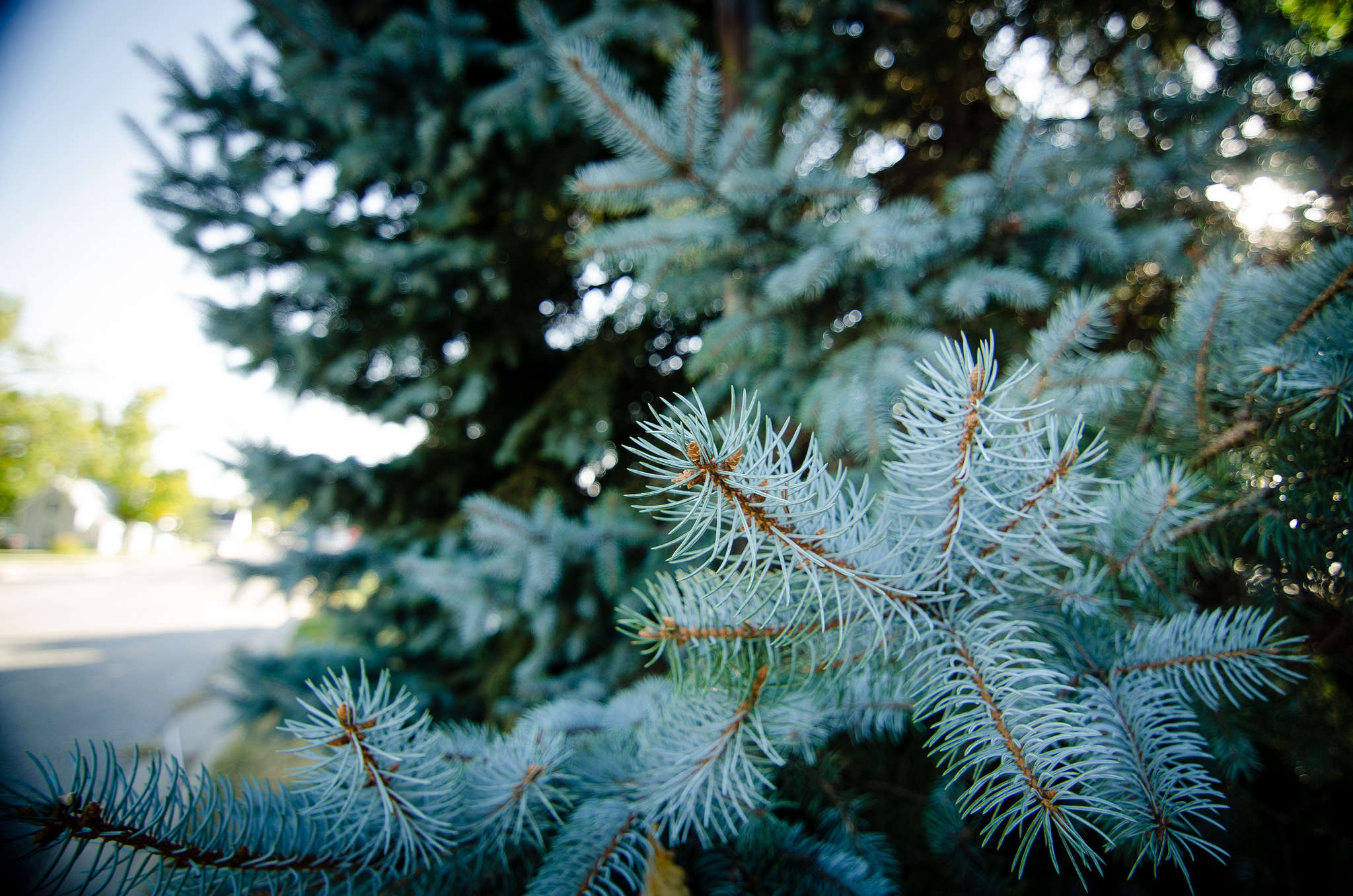 Full size picture of Colorado Spruce, Blue Spruce Glauca Globosa Pictures of blue spruce