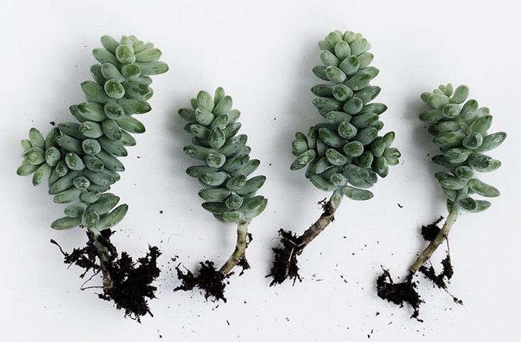 Gardening 101: Burro's Tail Succulent - Gardenista