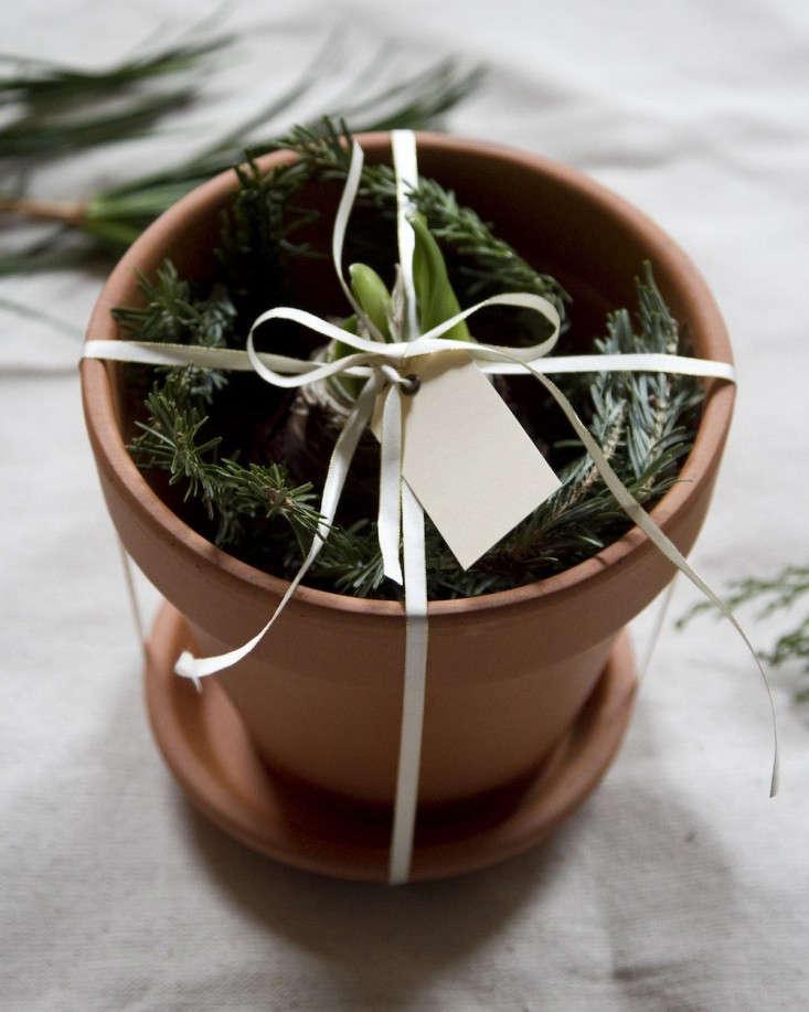DIY Gift: Potted Amaryllis Bulb