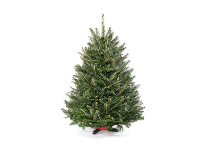 a 3 foot high fresh cut tabletop fraser fir farmed on the blue - Christmas Tree Stand Amazon