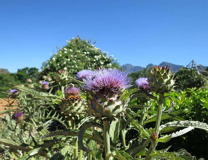 artichokes_marie viljoen-babylonstoren-gardenista