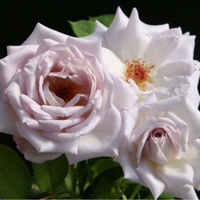 A Silver Shadows Rose (classified as a pale lavender) is $38 from Heirloom Roses.