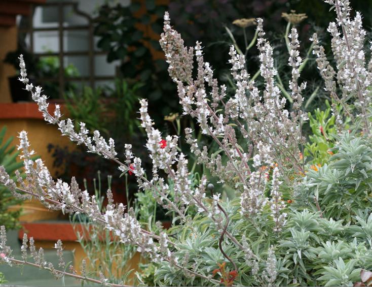 white-sage-salvia-gardenita