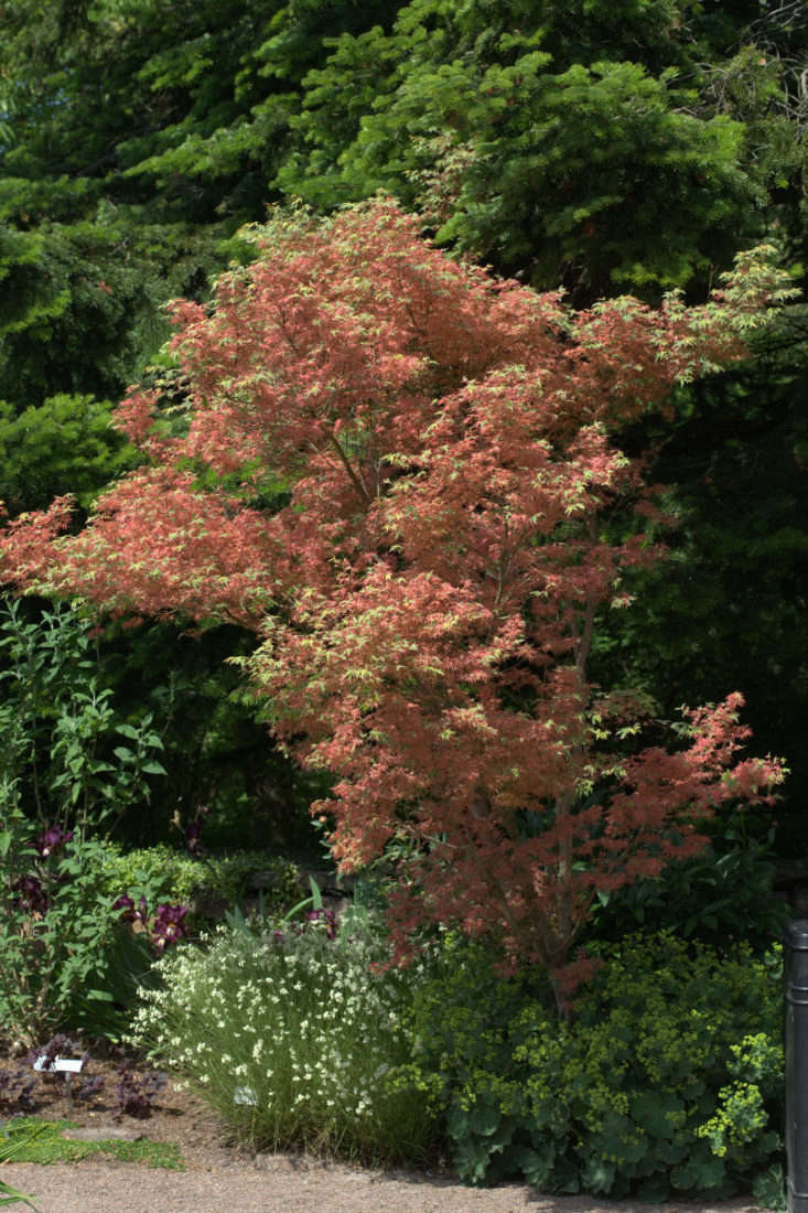 "A Japanese maple, Acer Palmatum""Kagiri Nishiki"" grows slowly and is shaped like a vase; $54.99 for a 1-gallon pot at Mendocino Maples Nursery. Photograph by Averater via Wikimedia."