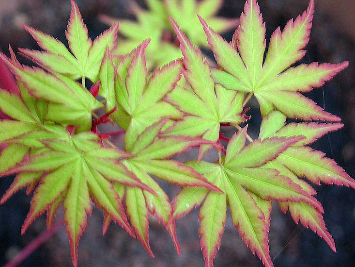 A popular hardy variety is Acer Palmatum 'Sango Kaku'. It has red bark and leaves that change from yellow to green to gold seasonally. A 3-gallon pot is $78 from Singing Tree Gardens Nursery.