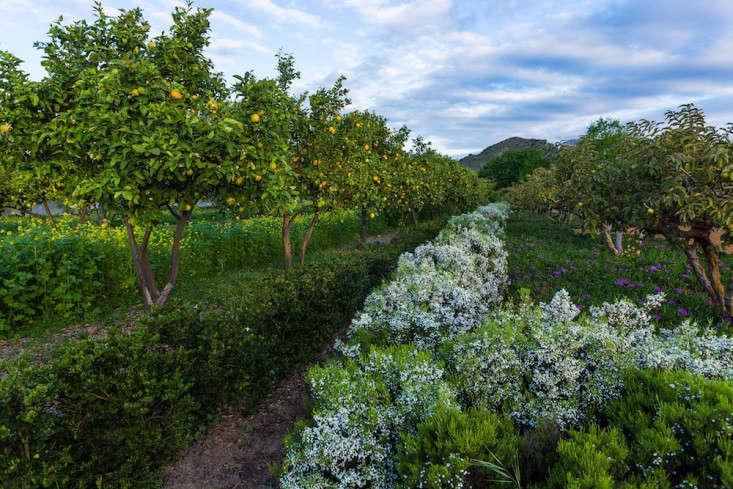 coleonema hedge_vincent mounier-babylonstoren-gardenista