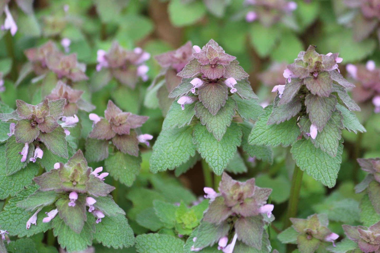 Wild Foods 9 Weeds To Keep And Eat Gardenista